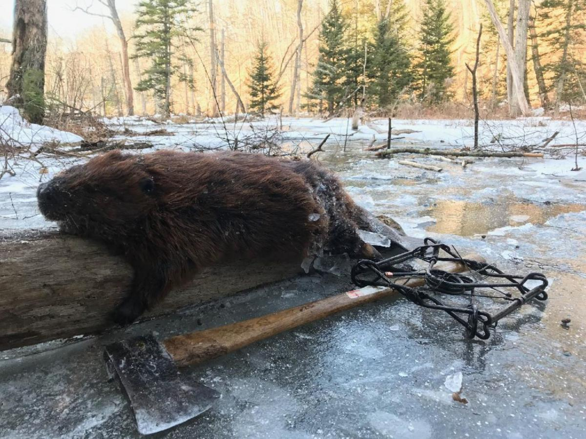 Trapping beaver
