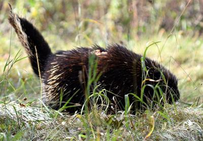 Porcupine with skin condition
