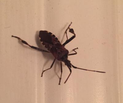 Bug off! N.H. sees invasion of western conifer seed bug