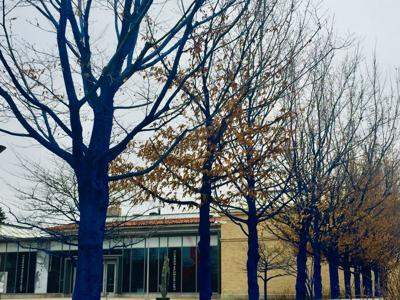 'The Blue Trees' are colorful spring site at Currier