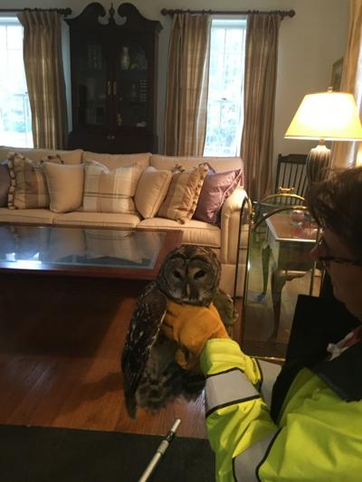 Suspicious sounds lead to owl rescue in Plaistow