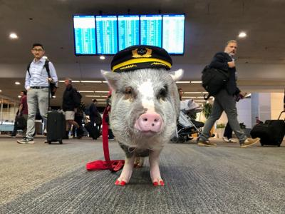 LiLou the therapy pig