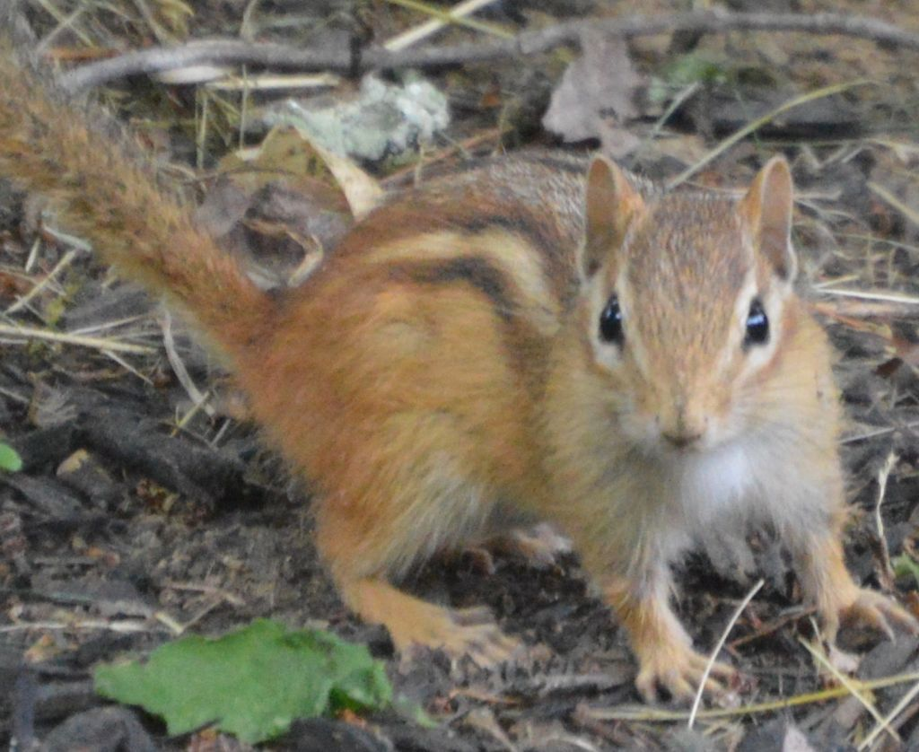 NH chipmunk invasion has homeowners going nuts