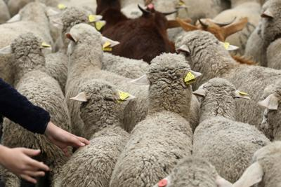 A child touches a sheep during the annual sheep parade through Madrid