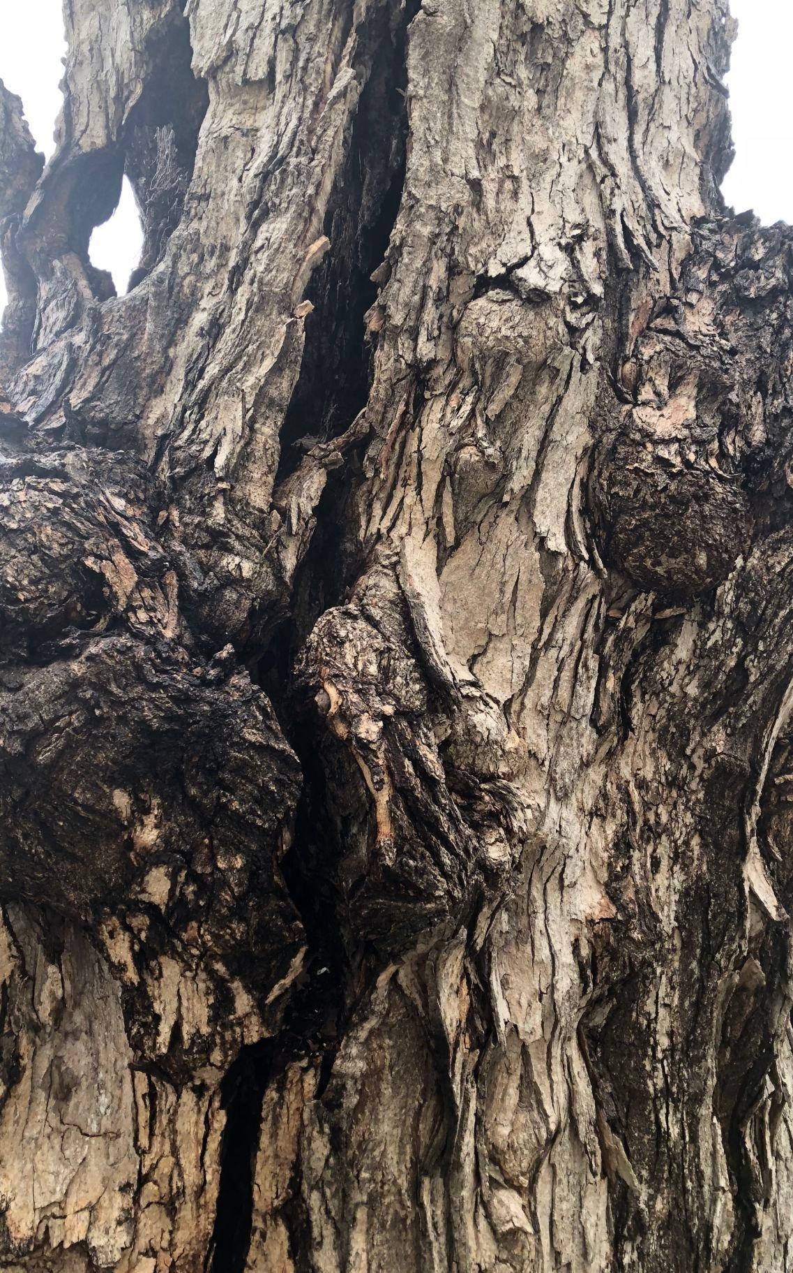 Crack in Kensington sugar maple