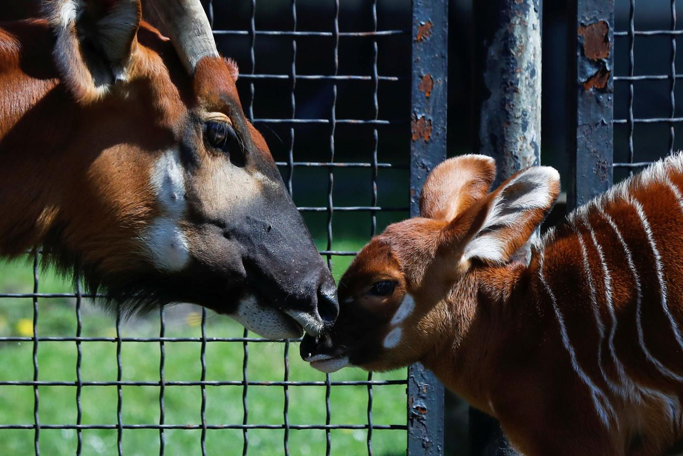 A newborn mountain bongo, the largest of African forest antelopes, is seen in the Warsaw Zoo