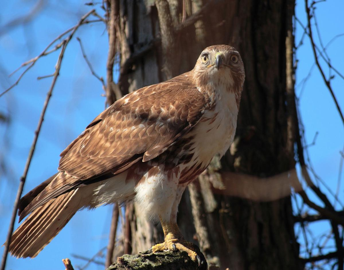 Red-tail hawk, soon to be your state raptor