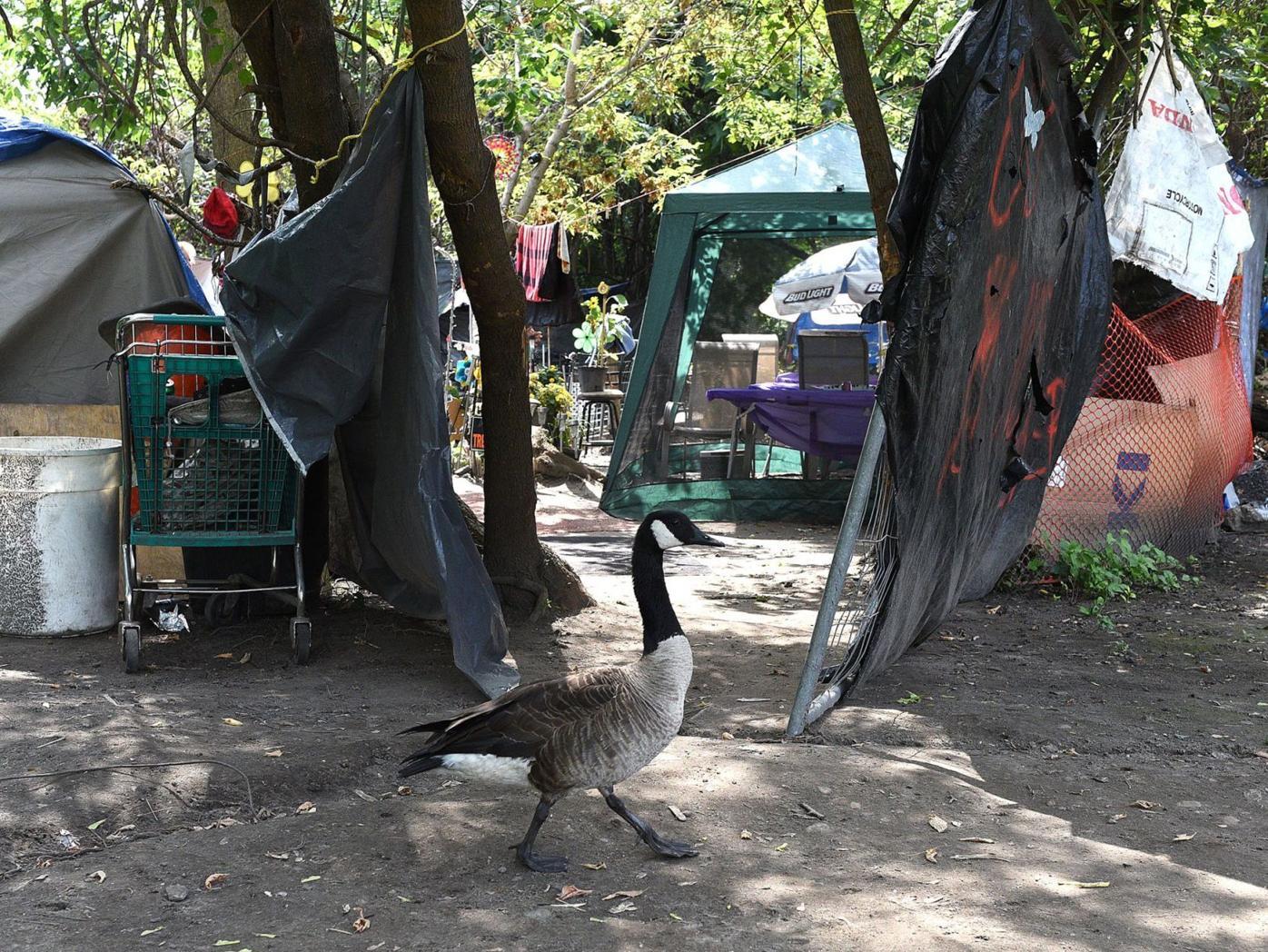 Canada goose patrols camp