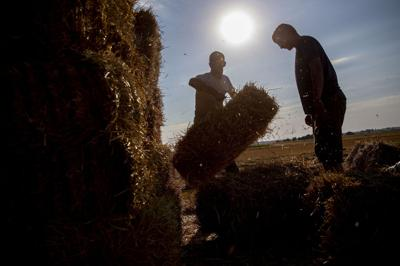 A worker stacks a straw bale
