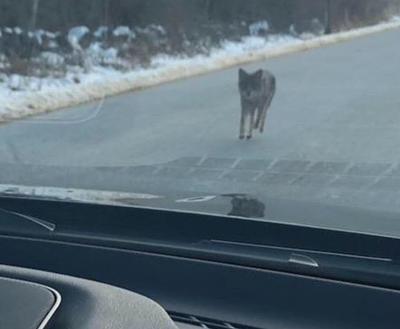 Kensington coyote