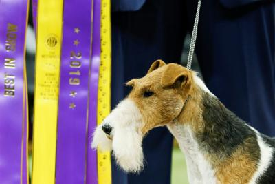 """A Wire Fox Terrier """"King"""" wins the Best in Show group at the 143rd Westminster Kennel Club Dog Show in New York City, New York"""