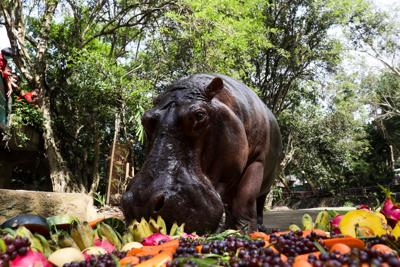 """Thailand's oldest hippopotamus """"Mae Mali"""" eats fruit during her 55th birthday party at Khao Kheow zoo in Chon Buri"""