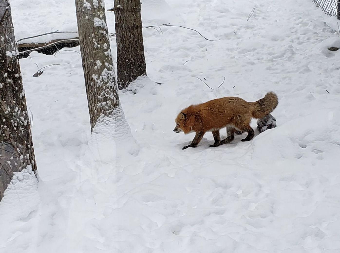 Red fox in winter coat