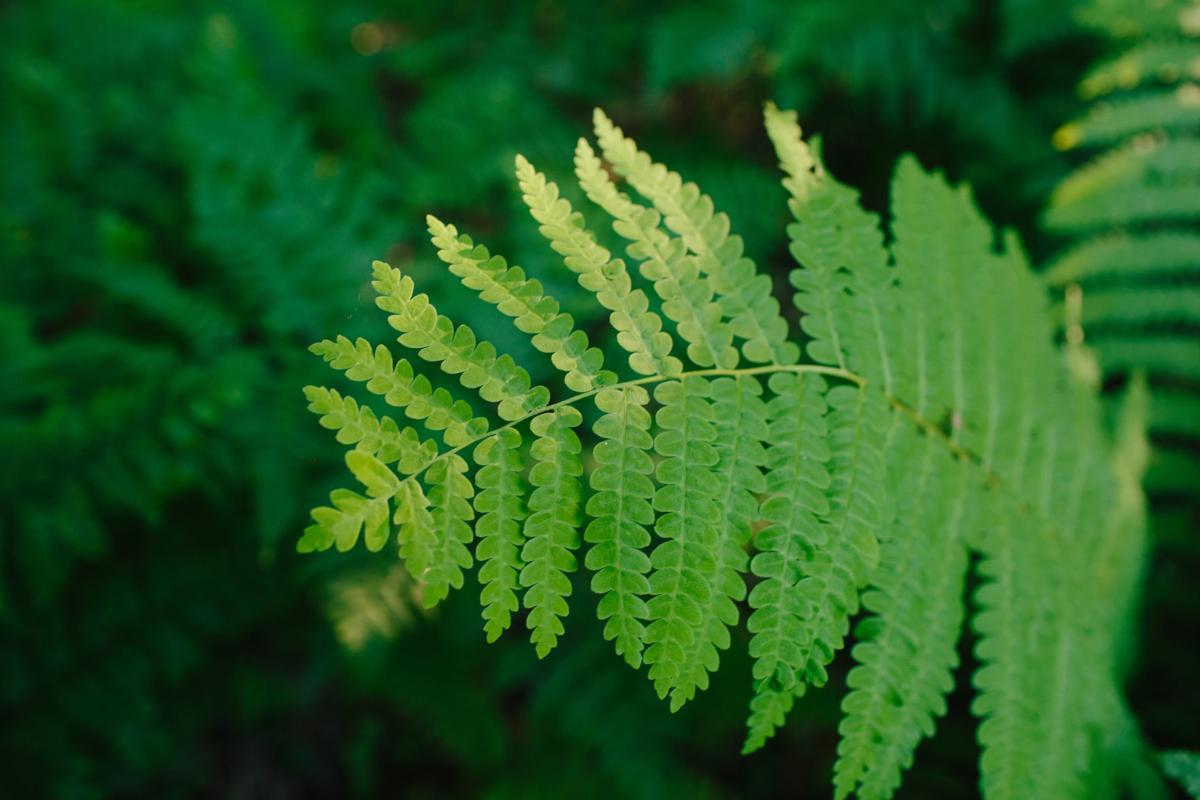 Forest Journal: Ferns matter