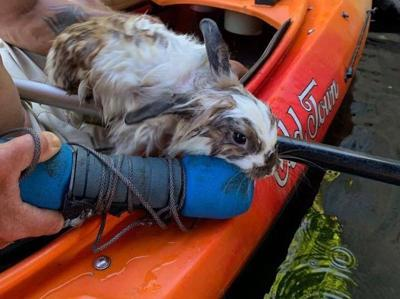 Kayakers rescue rabbit