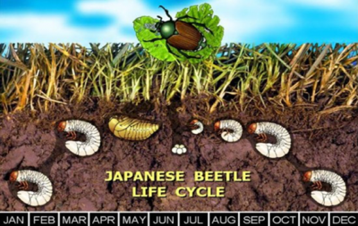 The life cycle of a Japanese Beetle.