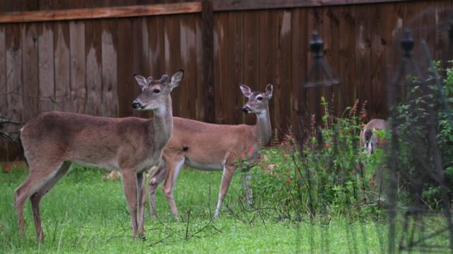 Deer in a Garden