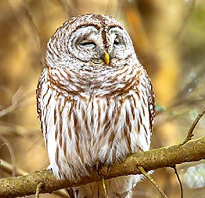 Owl for audubon