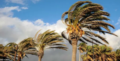 Winds blow in palm trees