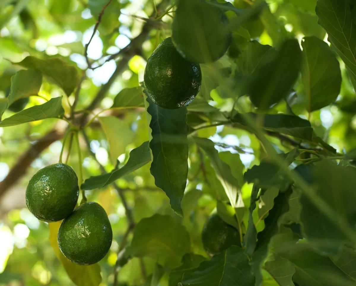 Gardeners Dirt You Can Grow Avocados At Home And