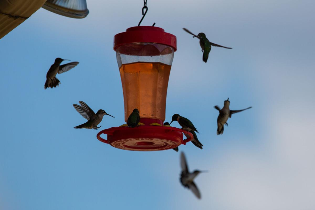 Fall Hummingbird Migration through South Texas