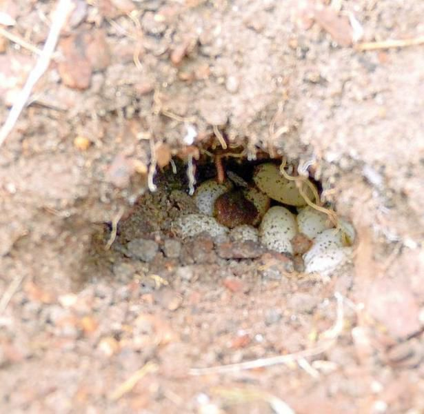 Master Naturalists: Texas spiny lizards give us a garden surprise