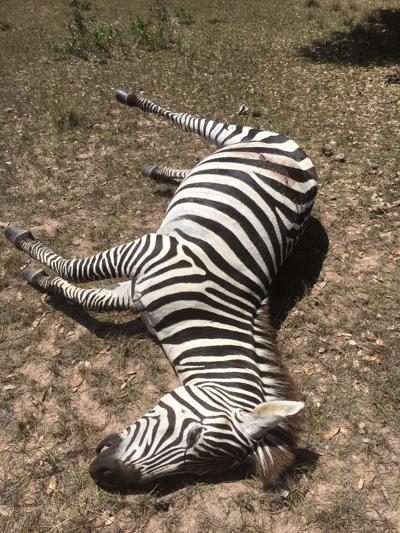 Game wardens search for zebra hunter