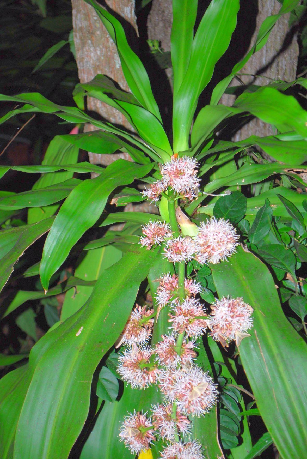 Corn plant - Dracaena fragrans