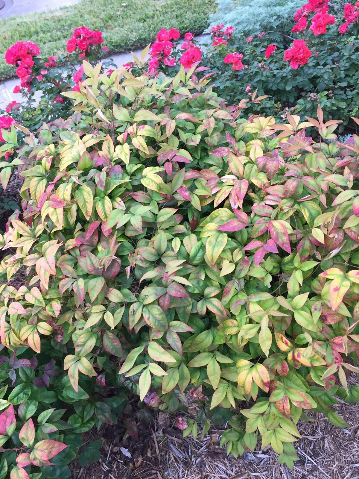 Something Old Something New Dwarf Nandina Home And Garden