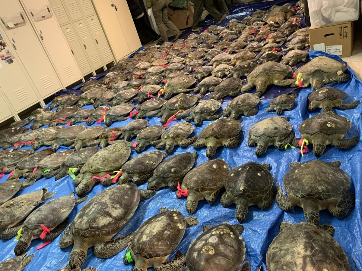 Cold-stunned sea turtle event in Texas is now largest on record in U.S.