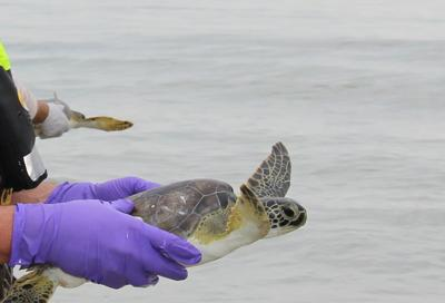 117 cold-stunned sea turtles revived and released into Gulf surf (copy)