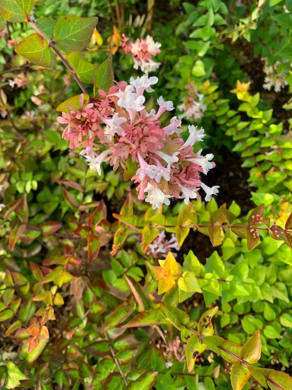 Abelia Is Shrub For South Texas Area Home And Garden