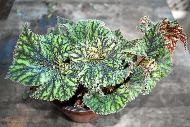 Gardeners' Dirt: Wrinkled, variegated leaves distinguish rex begonia