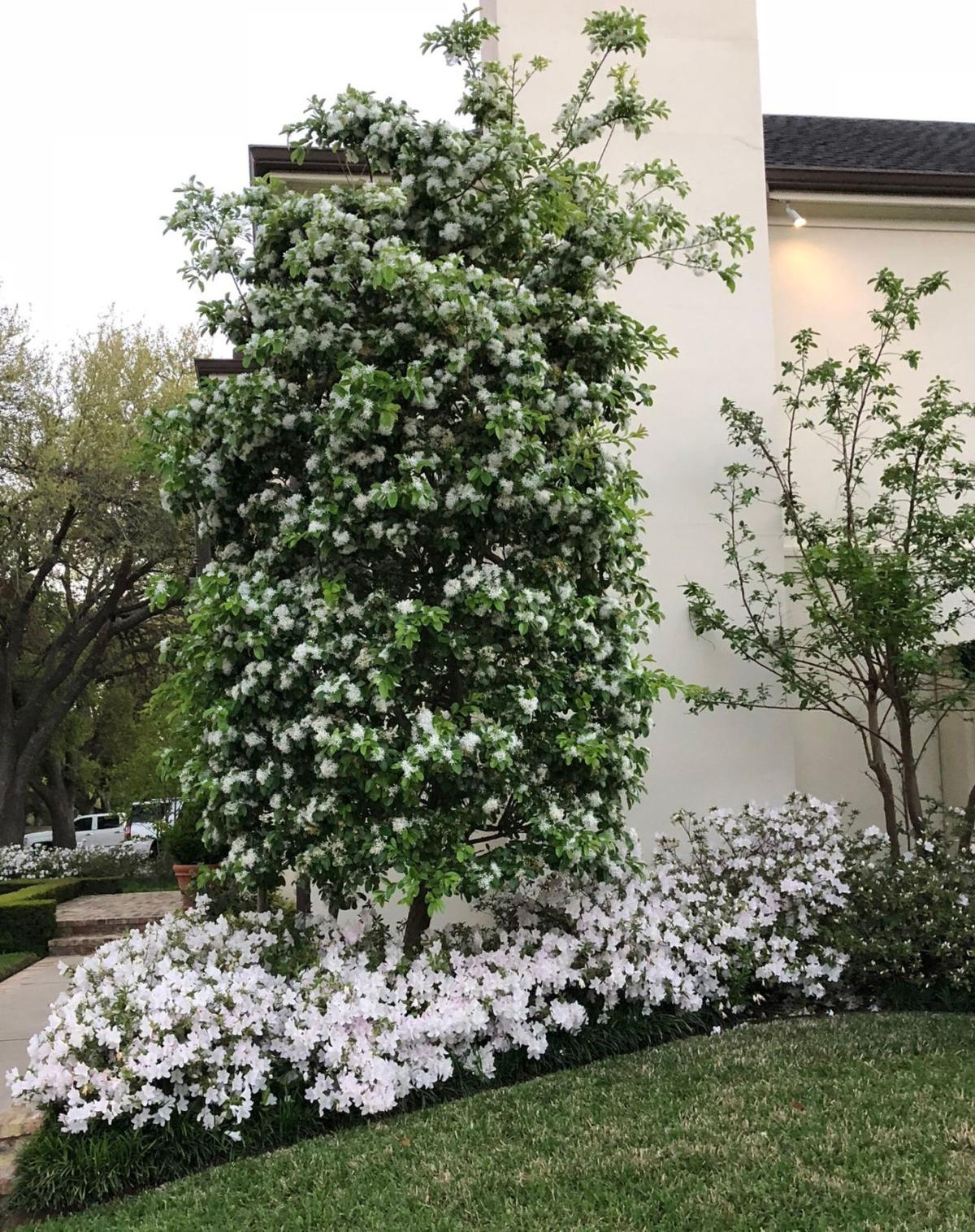 Plant Chinese Fringetree For Nice Low Maintenance Accent Tree