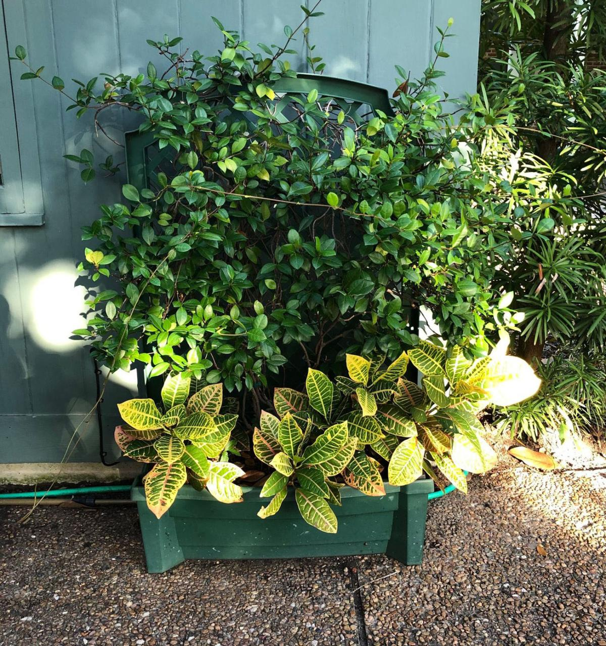 Crotons in planter