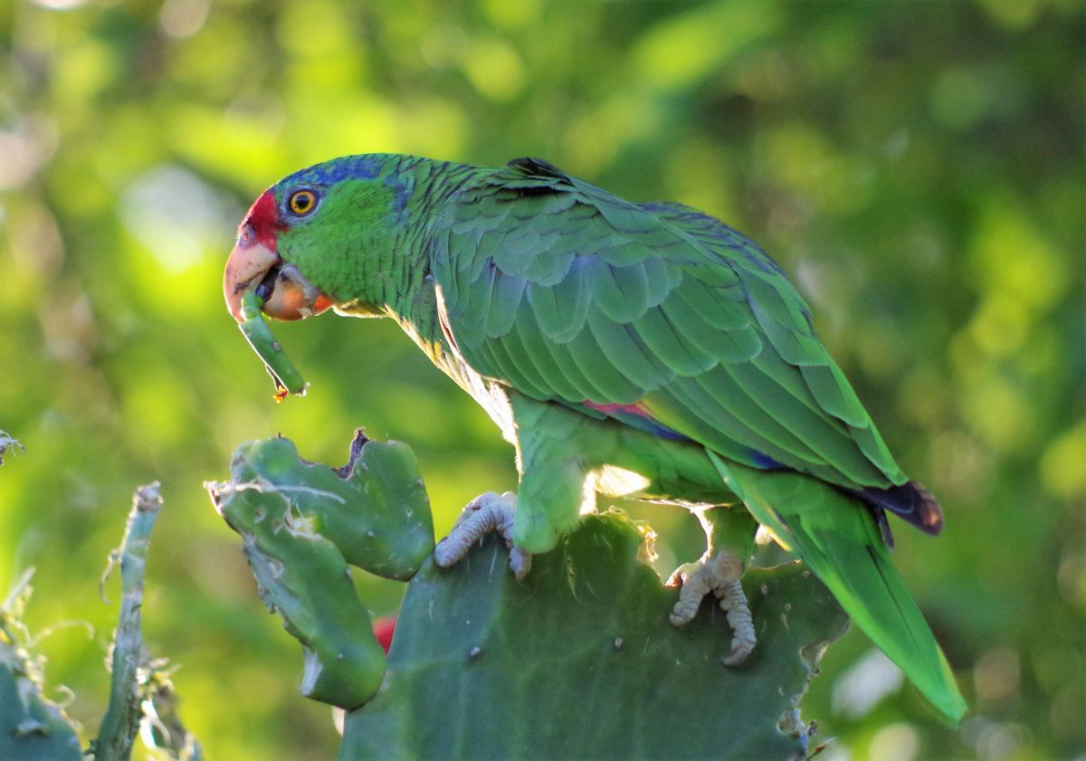 red crowned parrots wander into texas local news