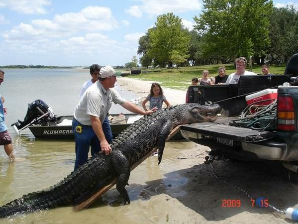 11 foot alligator killed at coleto creek swimming area goliad