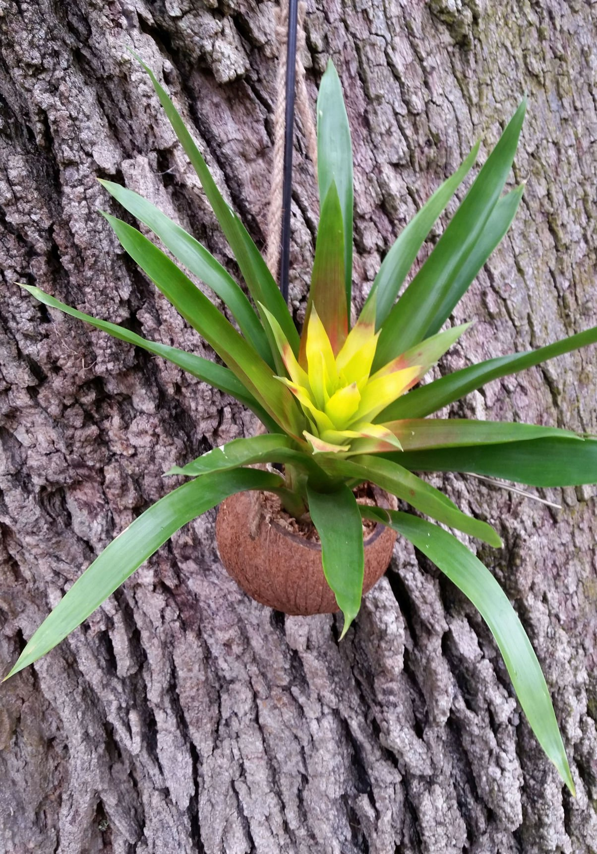 Caring for bromeliad mix and other varieties at home