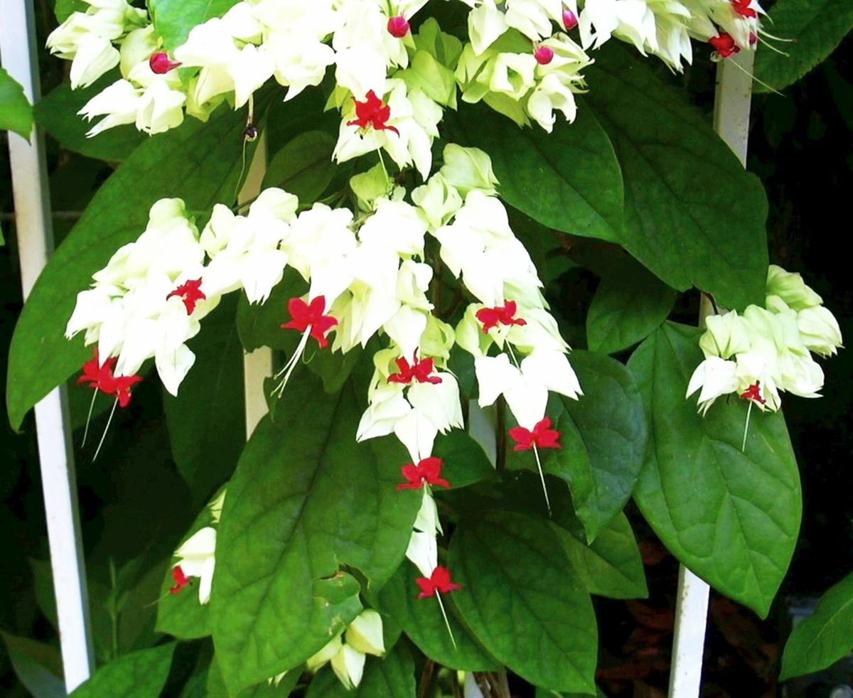 Bleeding Heart Vine An Eye Catcher In The Garden For Memorial Day Home And Garden Victoriaadvocate Com