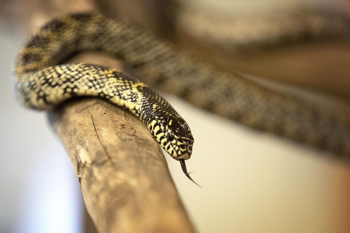 Indigenous snakes become more active as warmer weather approaches