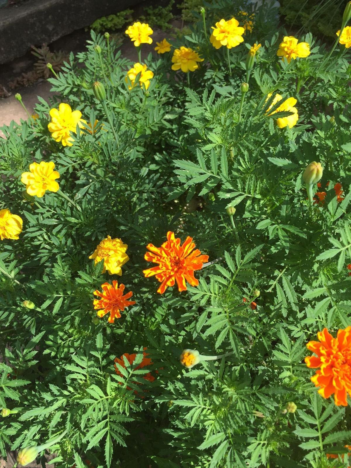 Marigolds Provide Cheer Color Every Year Home And Garden