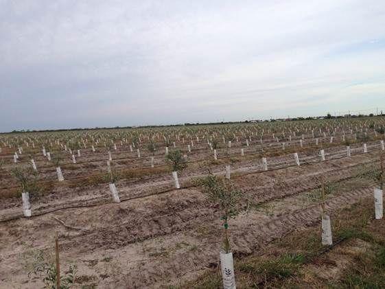 Crossroads area good for olive farming   Business