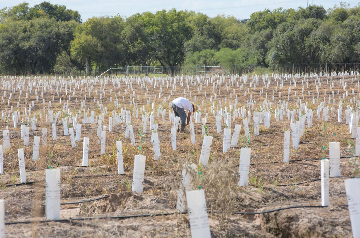 Olive oil industry growing in Goliad   Business