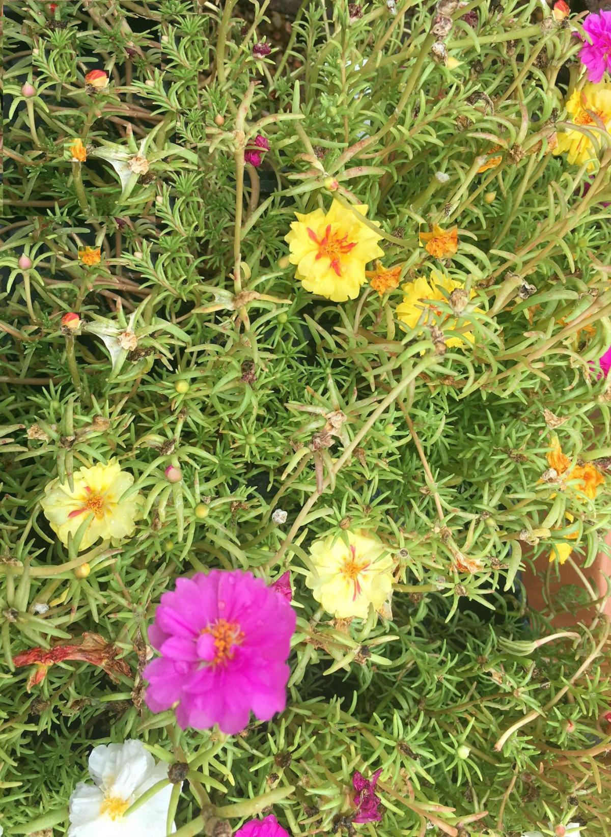 Is purslane a flowering beauty veggie or weed home and garden is purslane a flowering beauty veggie or weed home and garden victoriaadvocate izmirmasajfo
