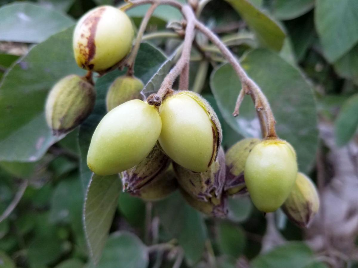 Gardeners Dirt Mexican Olive Is Subtropical Tree Worth The Risk Home And Garden Victoriaadvocate Com