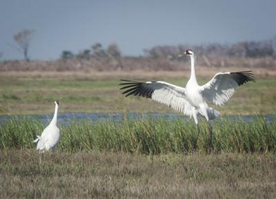 A Festival Of Cranes Bay Nature >> Scientists Find High Number Of Whooping Crane Nests Environment