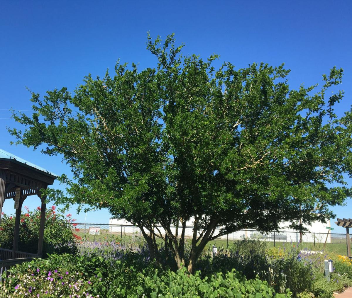 Texas Ebony Tree Is Texas Tough And Ornamental Home And Garden