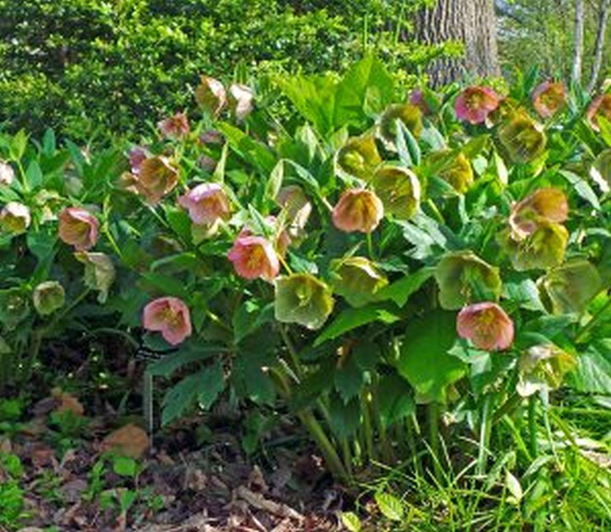 Flowering Helleborus