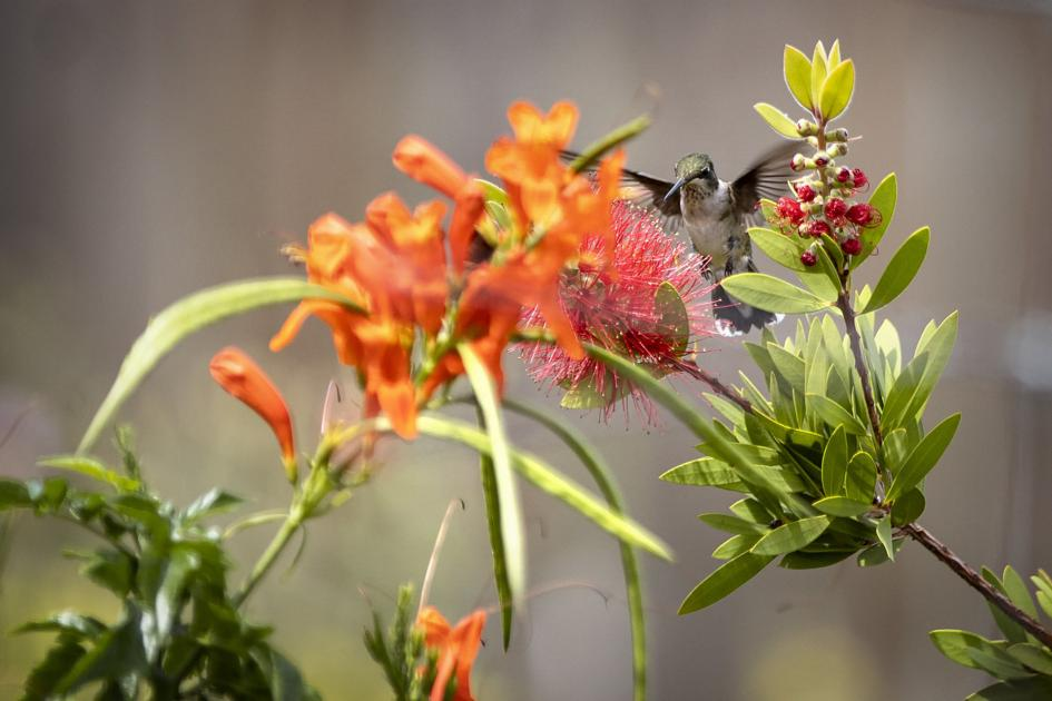 Folks flock to Rockport for hummingbird migration