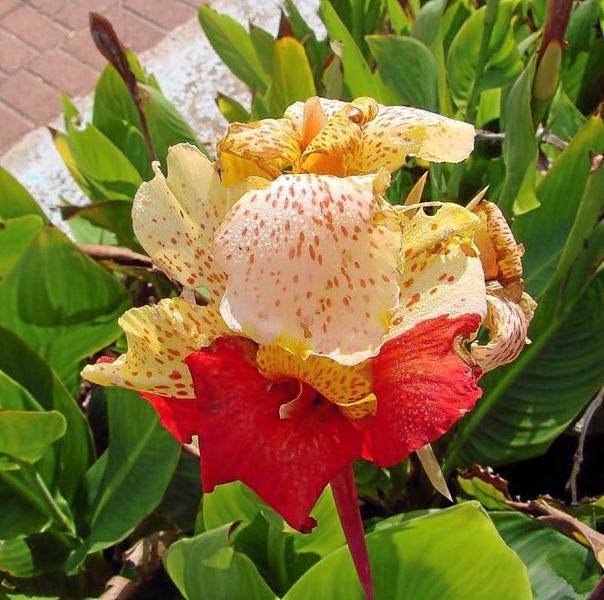 Gardeners' Dirt: Colorful canna lilies - not lilies at all